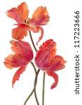 Stock photo studio shot of orange colored tulip flowers isolated on white background large depth of field dof 117223666