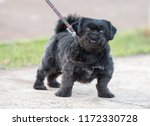little pug cute dog domestic...