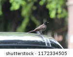 nightingale bird sitting on car ... | Shutterstock . vector #1172334505