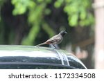 nightingale bird sitting on car ... | Shutterstock . vector #1172334508