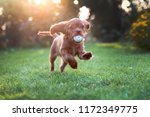 Stock photo happy puppy playing with ball in sunset light 1172349775