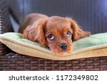 cute puppy lying on the garden... | Shutterstock . vector #1172349802