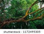 beautiful old tree in green...   Shutterstock . vector #1172495305
