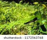 morning sun shining on an ebony ... | Shutterstock . vector #1172563768