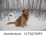 red haired dog breed golden...   Shutterstock . vector #1172672095