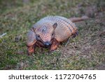six banded armadillo... | Shutterstock . vector #1172704765