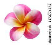 plumeria frangipani flower...   Shutterstock . vector #1172776372