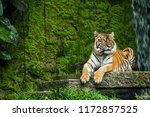 bengal tiger in forest . | Shutterstock . vector #1172857525