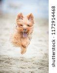 Yorkshire Terrier Running On...
