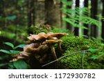 Wild Forrest Mushroom In The...