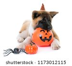 Stock photo puppy american akita and halloween in front of white background 1173012115