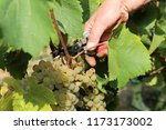 viticulturists harvesting... | Shutterstock . vector #1173173002