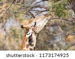 giraffe  giraffa camelopardalis ... | Shutterstock . vector #1173174925