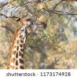 giraffe  giraffa camelopardalis ... | Shutterstock . vector #1173174928