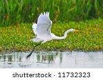 Great White Egret Taking Fligh...
