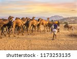 Small photo of A herd of dromedary camels being led through a desert landscape by camel traders near Pushkar in Rajasthan, India.