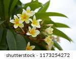 frangipani flowers close up... | Shutterstock . vector #1173254272
