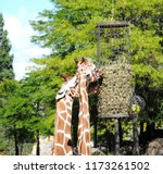 close up of head and neck of... | Shutterstock . vector #1173261502