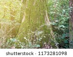 old tree  covered with moss... | Shutterstock . vector #1173281098