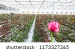 close up of a red rose on a... | Shutterstock . vector #1173327265