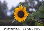 yellow sunflower  helianthus in ... | Shutterstock . vector #1173334492