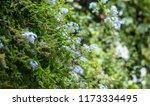 blue jasmin with bright green... | Shutterstock . vector #1173334495