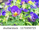 flowers viola tricolor pansy on ... | Shutterstock . vector #1173350725