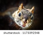 Stock photo wild red squirrel with bokeh 1173392548
