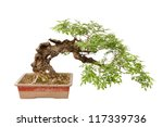 a small bonsai tree in a... | Shutterstock . vector #117339736