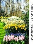 flowering muscari or grape...   Shutterstock . vector #1173464098
