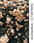 pastel roses bush. floral...   Shutterstock . vector #1173473452