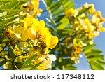 Yellow Flower Of Cassia Fistula ...