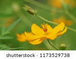 yellow cosmos or cosmos... | Shutterstock . vector #1173529738