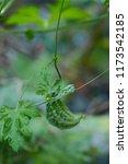 momordica charantia called... | Shutterstock . vector #1173542185
