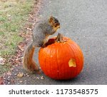 Squirrel Having Lunch On A...