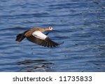 Egyptian Goose In Flight Over...