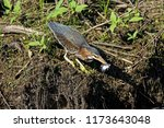 A Green Heron Shows Off It S...