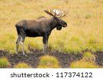 Small photo of Male Western moose portrait (Alces alces andersoni). Kananaskis, Alberta, Canada, North America