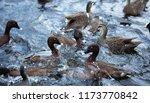 duck melee   pacific black... | Shutterstock . vector #1173770842
