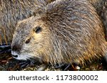 close up nutria rodent in... | Shutterstock . vector #1173800002