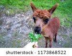 cut lama. lichtenstein | Shutterstock . vector #1173868522
