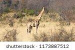 single adult giraffe  giraffa... | Shutterstock . vector #1173887512