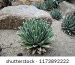 agave victoriae reginae  queen... | Shutterstock . vector #1173892222