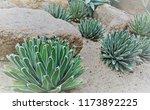 agave victoriae reginae  queen... | Shutterstock . vector #1173892225
