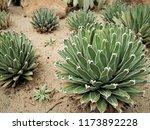 agave victoriae reginae  queen... | Shutterstock . vector #1173892228