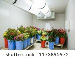 flowers in the big cold storage ... | Shutterstock . vector #1173895972