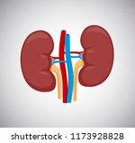 kidney left and right vector... | Shutterstock .eps vector #1173928828