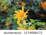 mexican sunflower weed ... | Shutterstock . vector #1174008172