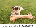 little cute dog eats a huge...   Shutterstock . vector #1174024192