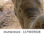 Stock photo close up of baby elephant 1174035028
